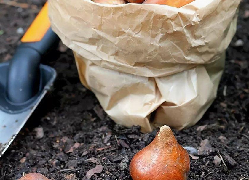 Подготовка луковиц тюльпана к посадке