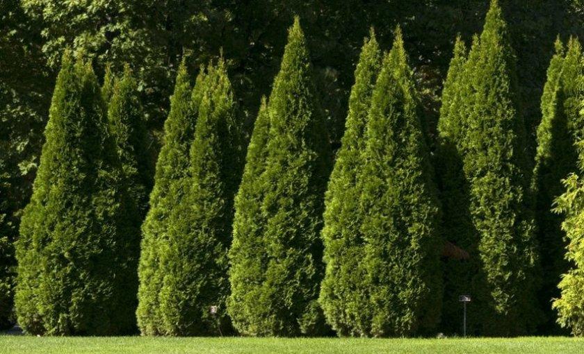 Здоровые деревья туи
