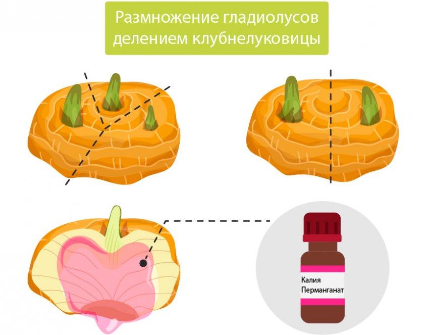 Размножение гладиолусов клубнелуковицами