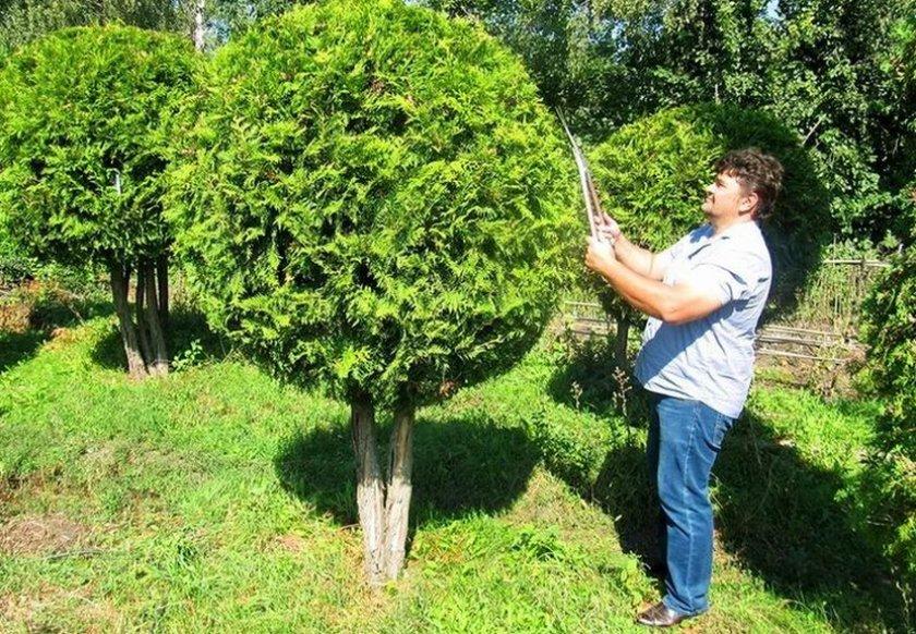 Купирование крон деревьев и кустарников фото