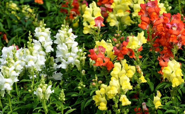 Гладиолус (фото цветов) - советы, секреты, рекомендации