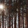 Все о сосне Гельдрейха Малинки Ден Оуден Компакт джем и другие сорта с описанием Посадка и уход за боснийской сосной