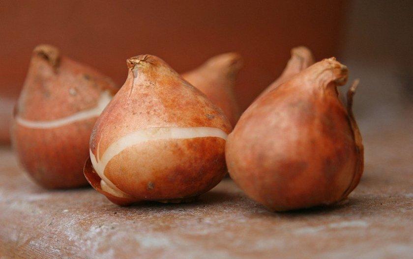 Здоровая луковица тюльпана