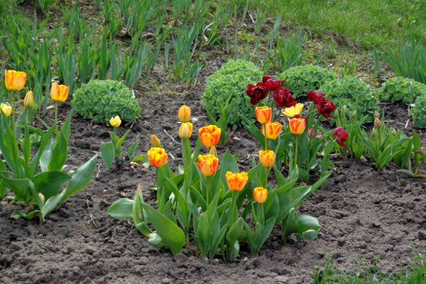 Тюльпаны на грядках