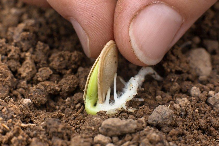 Посадка тыквы