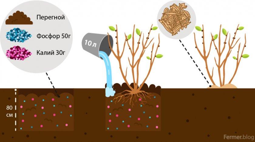Схема посадки бузины