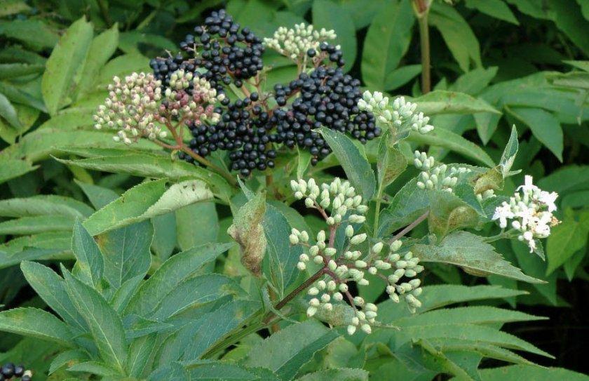 Цветки и ягоды чёрной бузины