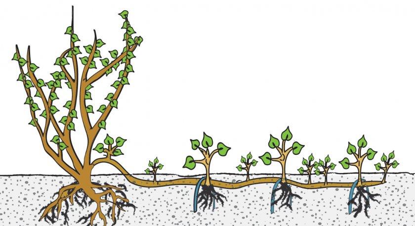 Размножение бузины отводками