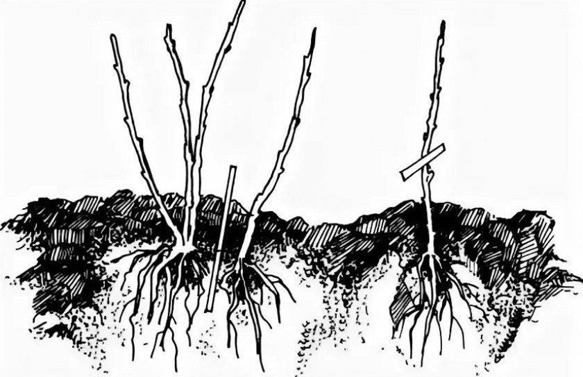 Размножение деление куста бузины
