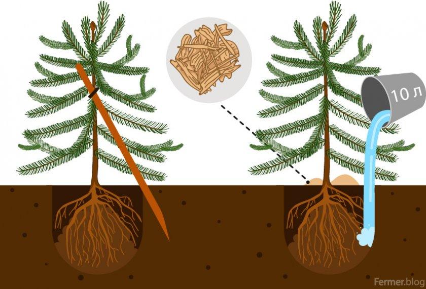 Пихта бальзамическая нана посадка и уход в открытом грунте