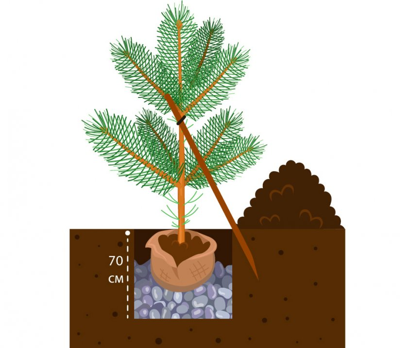 Схема посадки сосны