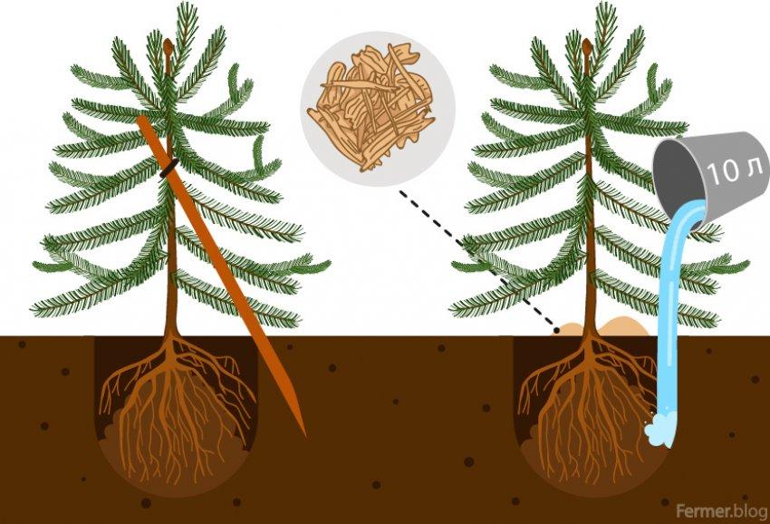Схема посадки пихты