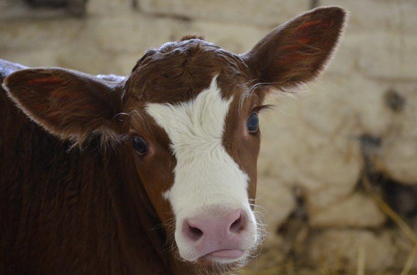 Уши коровы