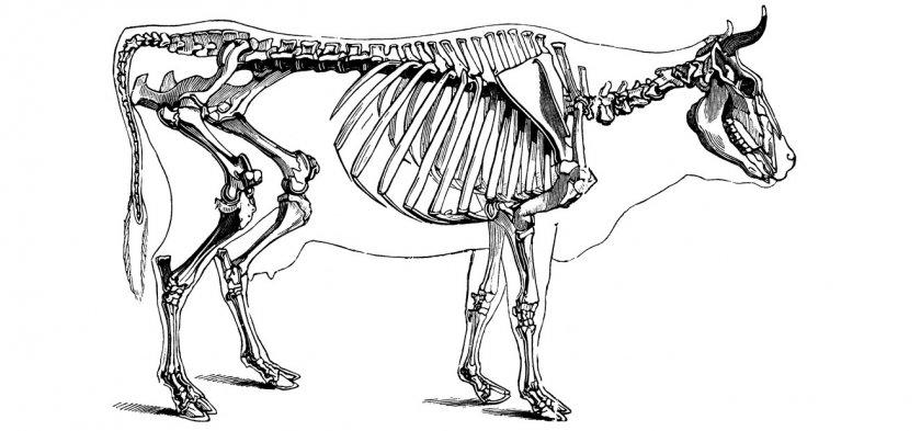 Скелет коровы