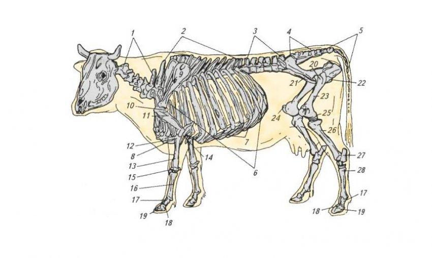 Позвоночник коровы