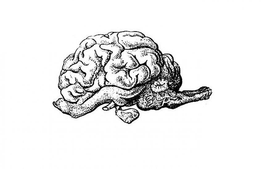Головной мозг коровы