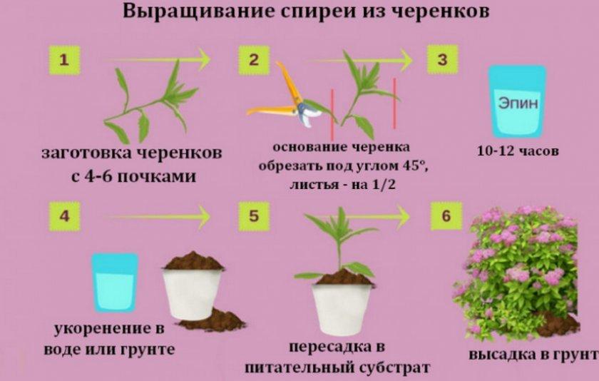 Выращивание спиреи из черенков
