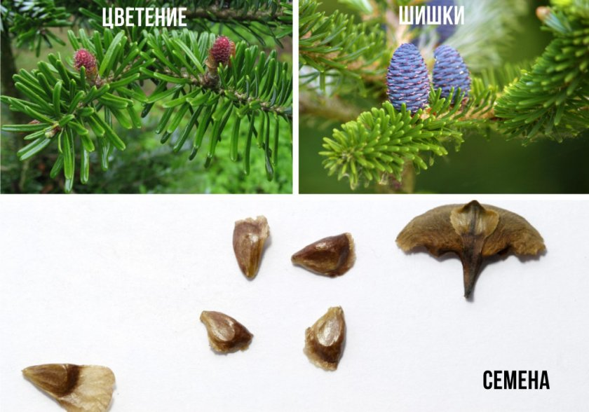 Цветение, шишки и семена пихты