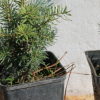 Как вырастить пихту на даче