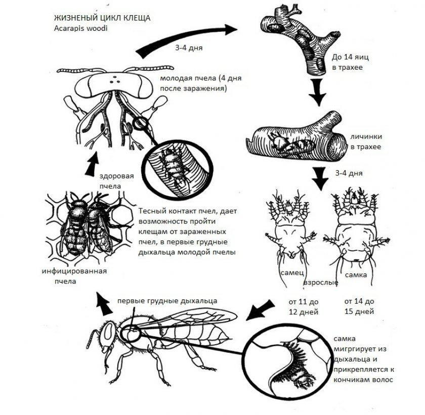 Цикл развития клеща акароза