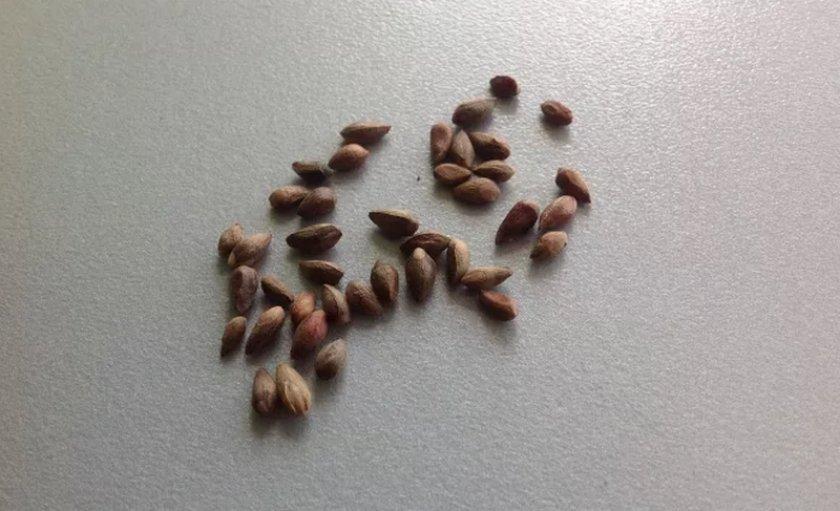 Семена микробиоти