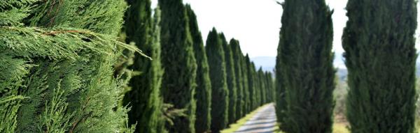 Кипарисовик в ландшафтном дизайне — фото и сорта