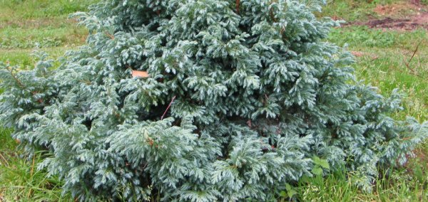 Кипарисовик горохоплодный Санголд: описание растения, его посадка и уход