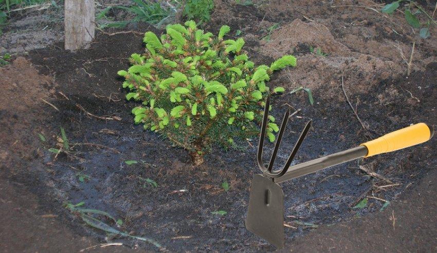 Рыхление почвы под пихтой