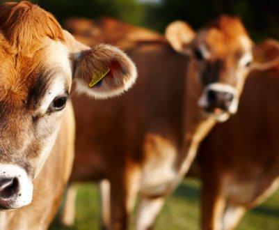 Как вылечить лишай у коровы