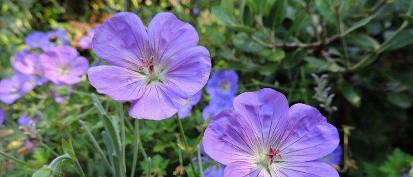 Герань садовая: виды, посадка и уход