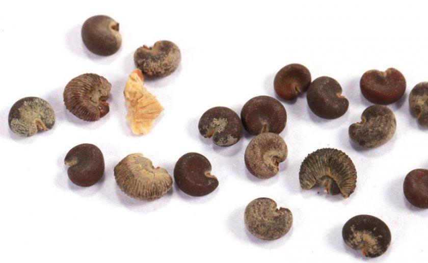 Семена герани