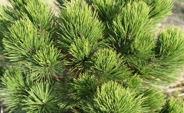 Сосна Шверина Витхорст (Pinus schwerinii Wiethorst): описание и фото дерева, использование в ландшафтном дизайне, посадка и уход