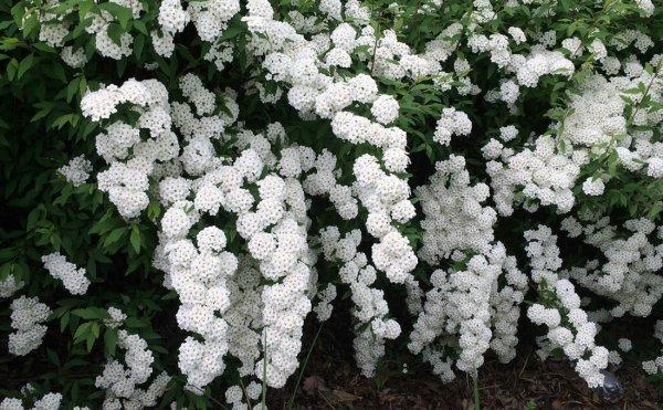 Цветы спирея вангутта и голд фонтейн