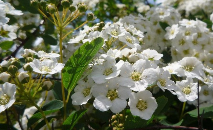 Цветки спиреи вангутта