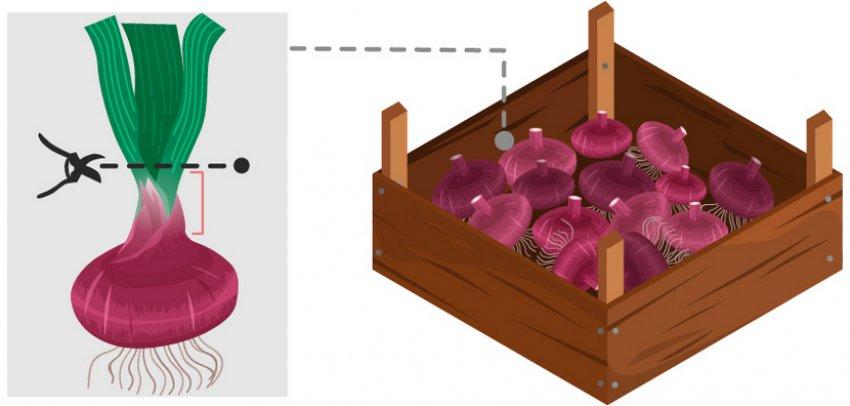 Луковицы гладиолусов для хранения
