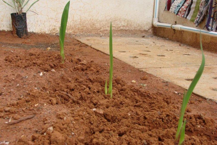 Посадка рассады гладиолусов в открытый грунт