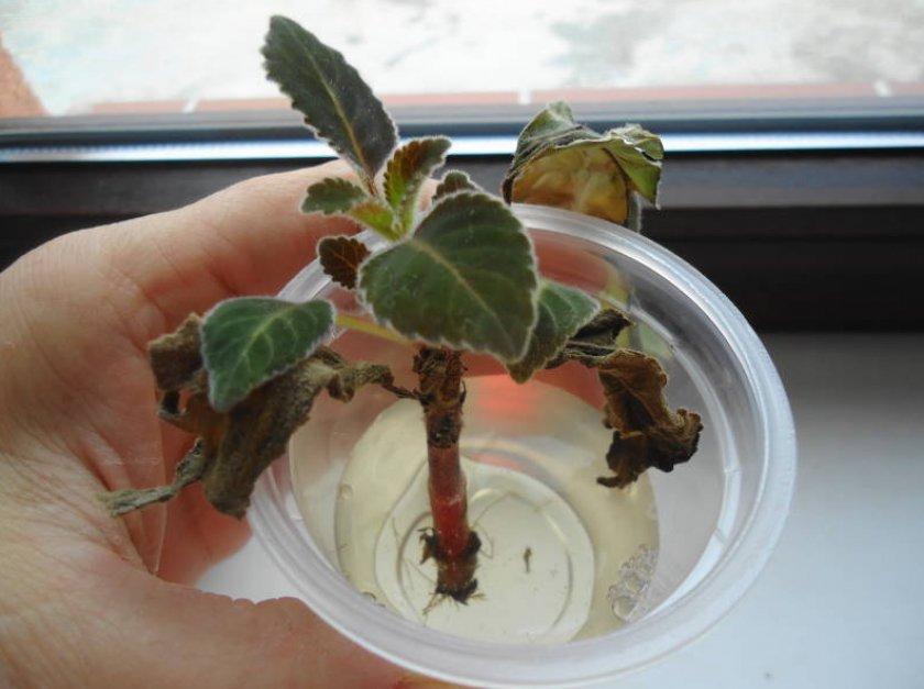 Размножение глоксинии черенками