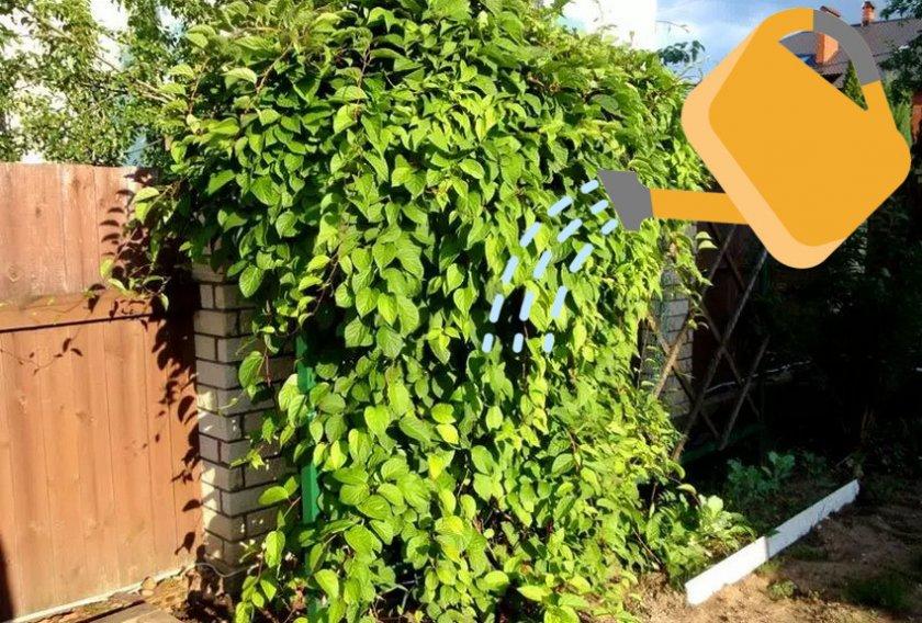 Можно ли выращивать лимонник китайский в квартире?