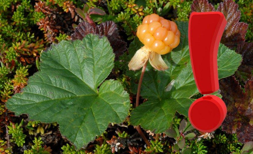 Противопоказания к употреблению листьев морошки