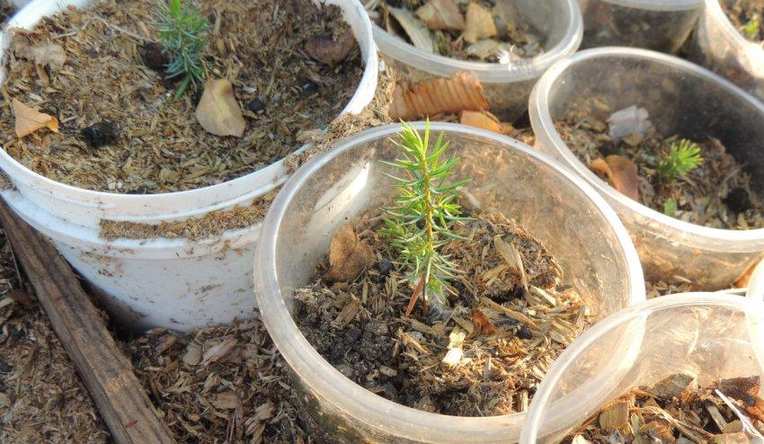 Ростки можжевельника из семян