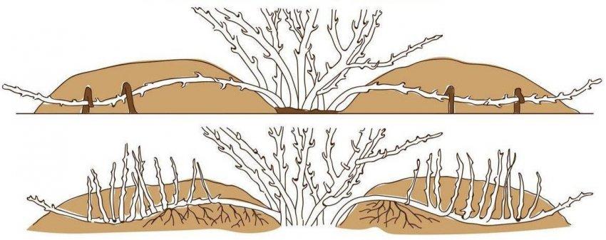 Размножение можжевельника отводками
