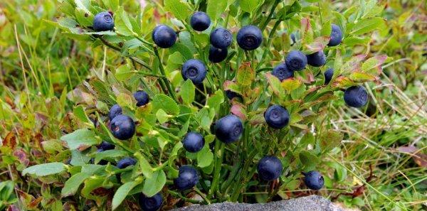 Когда цветет и созревает черника в лесу, фото ягоды черники, какое приспособление для сбора черники лучше и где купить комбайн для сбора черники