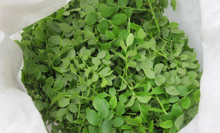 Сбор листьев черники