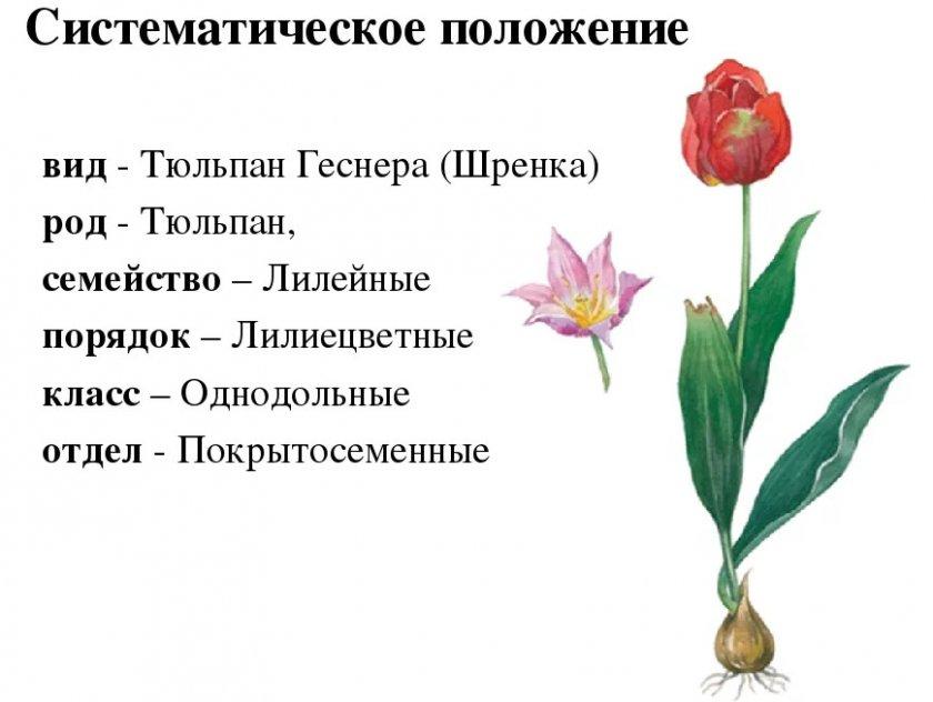 Систематическое положение тюльпана
