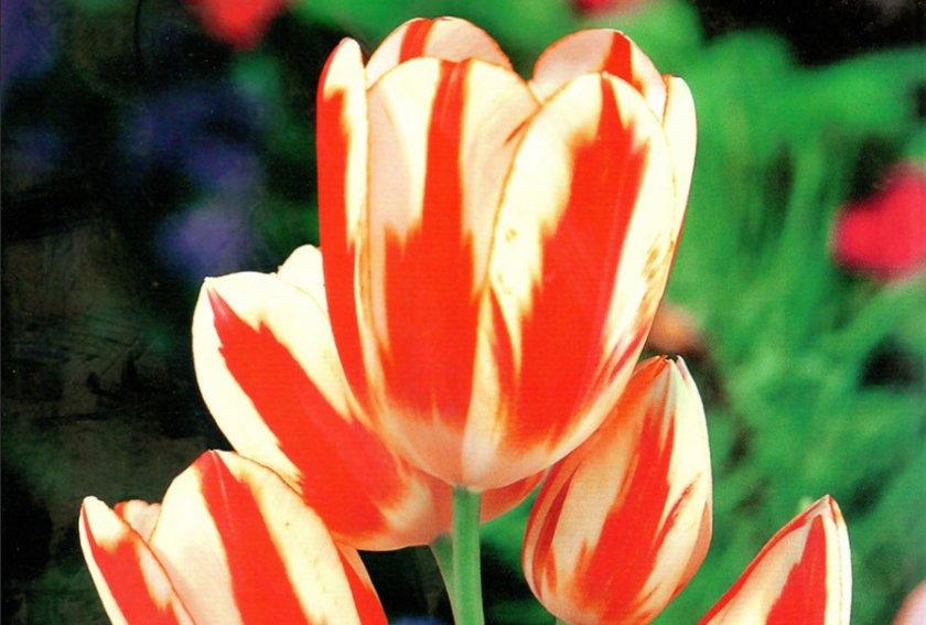 Великий тюльпан