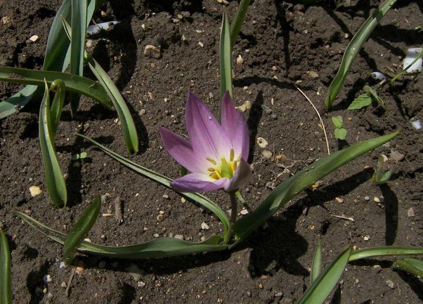 Тюльпан Липского