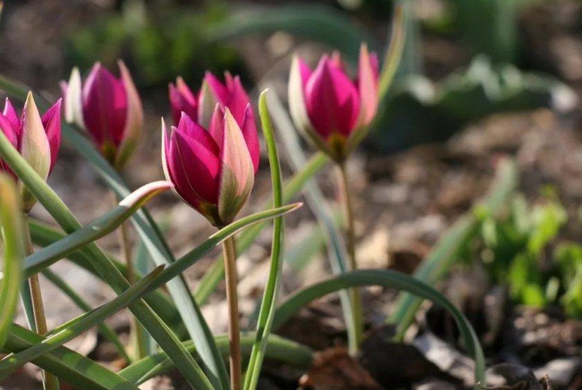Карликовый тюльпан