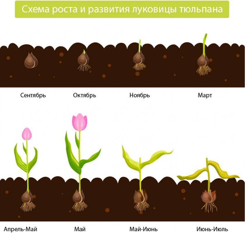 Рост и развитие луковиц тюльпана