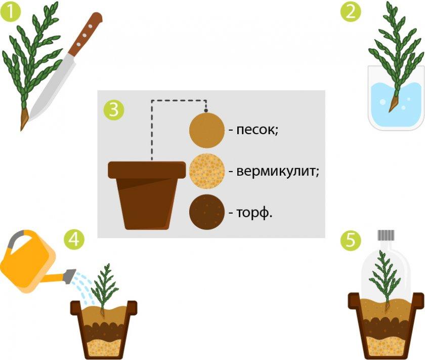 Размножение черенками кипарисовика