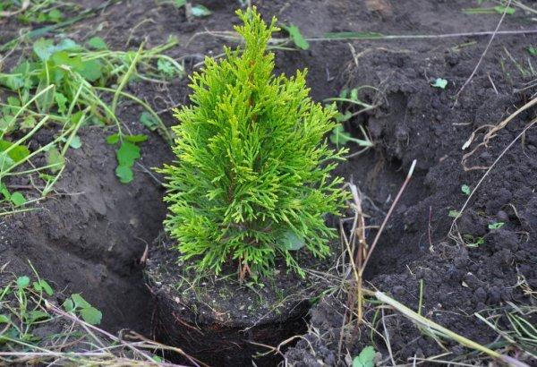 Как высадить тую из горшка в грунт: когда и как правильно пересаживать, весной или осенью